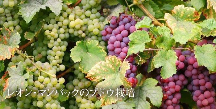 レオン・マンバックのブドウ栽培
